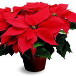 Poinsettia Flower Memorials