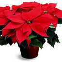 Last weekend to remember a loved one with memorial Christmas Poinsettia