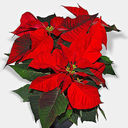 CHRISTMAS FLOWER FUND DUE WED, DECEMBER 20TH