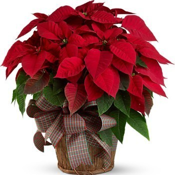 Annual Poinsettia Sale - Pick Up Orders - Dec 7 & 8 in Social Hall