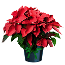 Order Christmas Poinsettias!