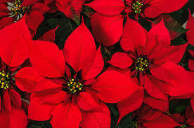 Story of the Poinsettias