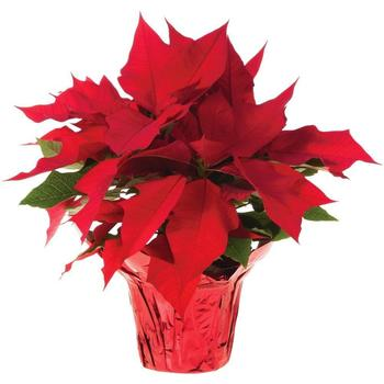 St. Patrick Home & School Association Poinsettia Sale Fundraiser
