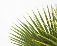 Palm Sunday Palms Distribution