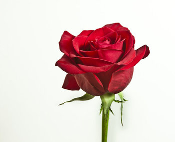 K of C RIGHT TO LIFE ROSE SALE
