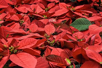 2020 Home and School Christmas Flower Sale