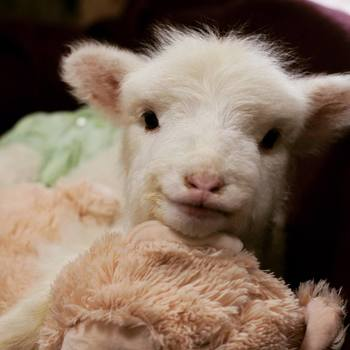 Help Take Care of Our Lamb!