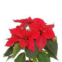 Reserve Christmas flowers