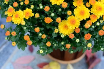Assorted Potted Mums