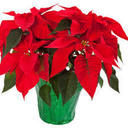 October 24: Poinsettia Sales Start This Weekend!