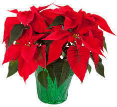 Poinsettia Pick-Up after the 7:30 am Mass, Lower Level Entrance Doors