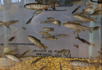 Trout in the Classroom: Final Goodbye