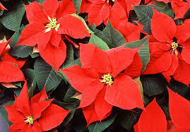 The Great Poinsettia Handout a Blooming Success!