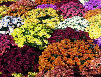 Mum Sale sponsored by Knights of Columbus