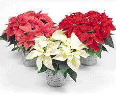 Poinsettia Fundraiser for Troop 104