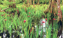 Louisiana irises are being protected and conserved