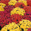 St. Patrick School Mums and Fall Plant Sale