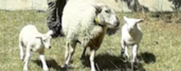 Sheep Return to Centre--and then Move on to Greener Pastures