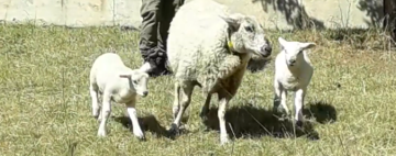 Sheep Return to Centre -- and then Move on to Greener Pastures