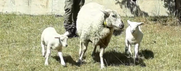 Sheep Come and Go
