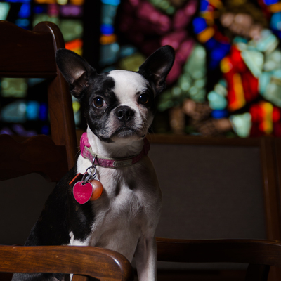 Maggie the Boston Terrier