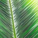 No palms will distributed on Palm Sunday