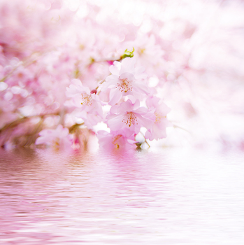 What I learned from the cherry blossoms