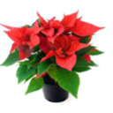 Poinsettia Sale Extended to Dec 6th