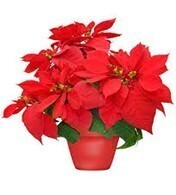 Poinsettia Car Side Pick-up