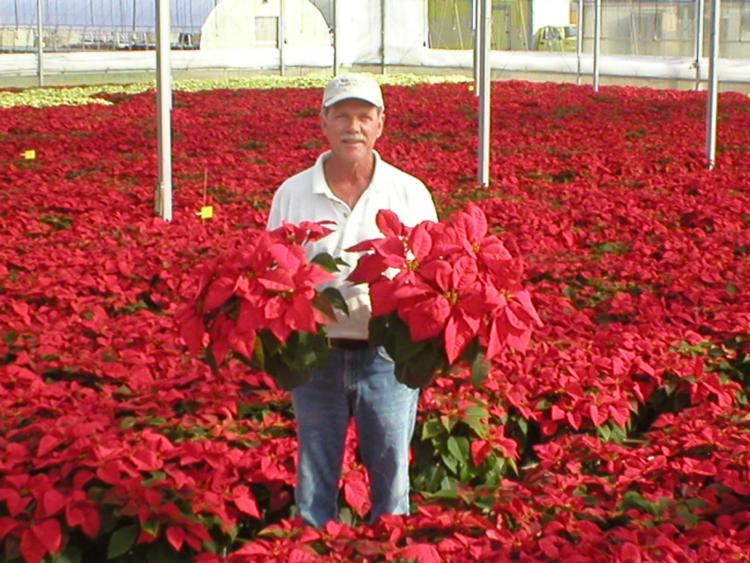Poinsettia Pick up