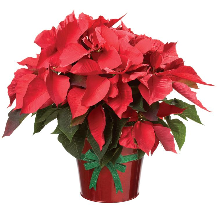 Poinsettia Delivery