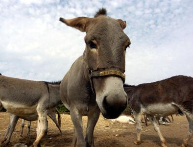 Medieval band gets the Pope's blessing ahead of traditional donkey race