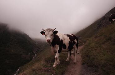 Following the Cow Path   December 15