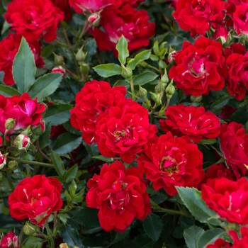 Mother's Day Rose Sale