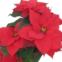 Christmas Flower Donations for Loved Ones...