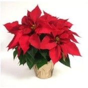 Annual Poinsettia & Holiday Greens Sale