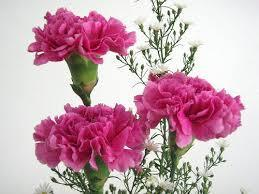Carnations for MOTHER'S DAY