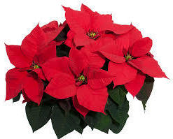 Annual Poinsettia Sale